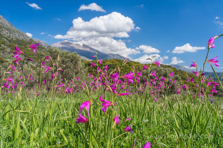 Весенний Крит, дикие гладиолусы. Spring Crete, wild gladiolus