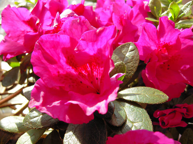 Цветы азалии-1