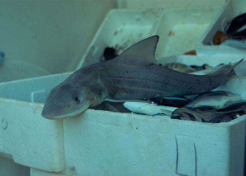 Свежая акула