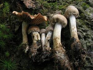 Cortinarius sp.