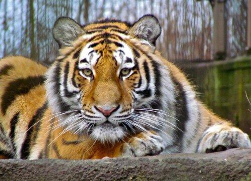 Самый северный тигр