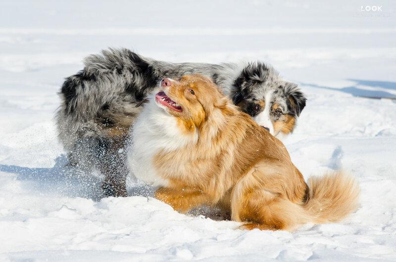 Мои собаки: Зена и Шива и их друзья весты - Страница 8 0_a8386_76f0642a_XL