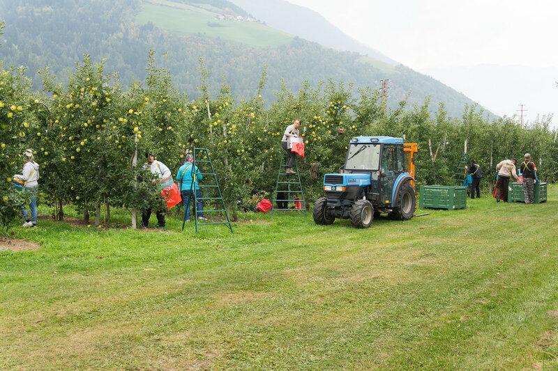 сбор урожая яблок в октябре в Альпах, Италия