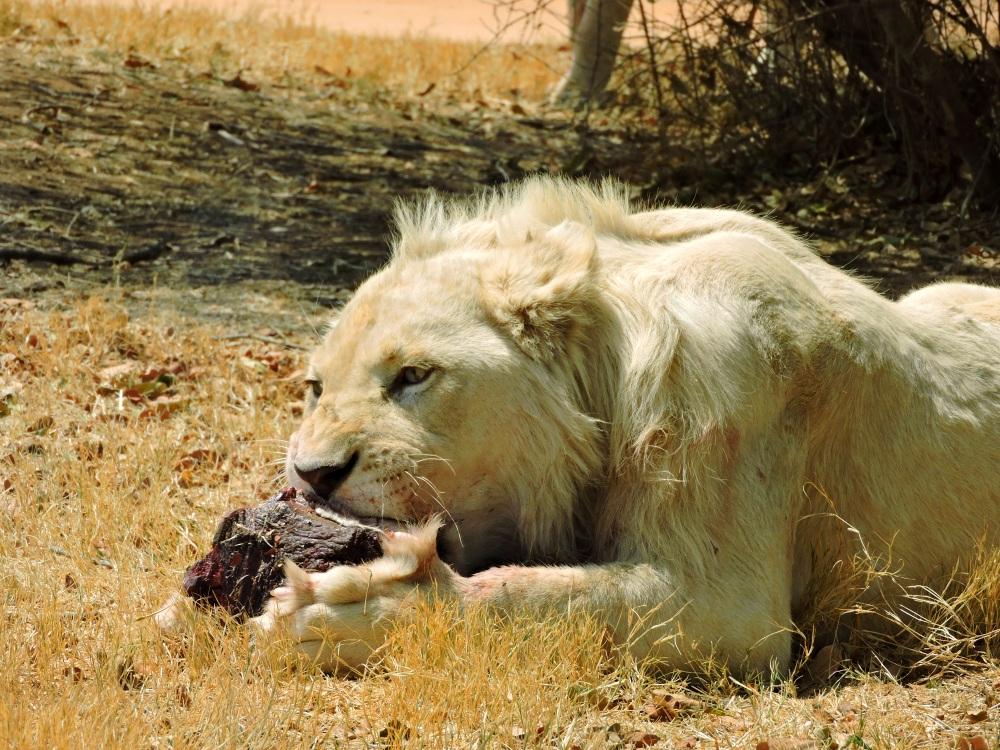 lions12.jpg