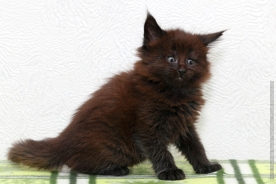 в Москве котенок Мейн-кун купить