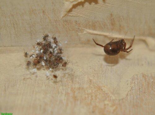 Стеатода двупятнистая / Steatoda bipunctata