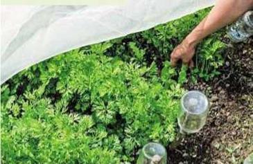 Как выращивают морковку в англии в огороде и в москве на бал.
