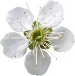 flower (8).png