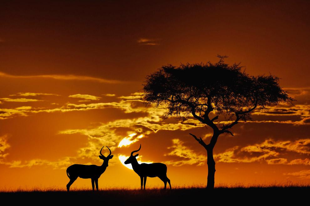 18. Силуэт жирафа в Масаи Мара, Кения, Африка.