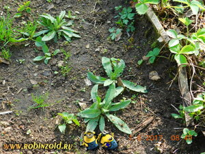 корневые отростки сорняка
