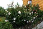 Crocus Rose и Summer Song