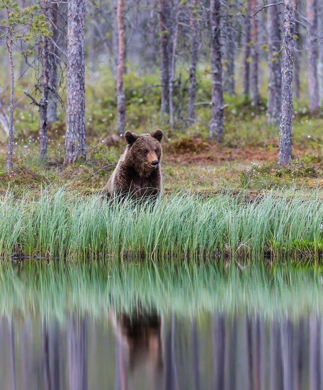 Встреча с голодным медведем в Карелии - YouTube