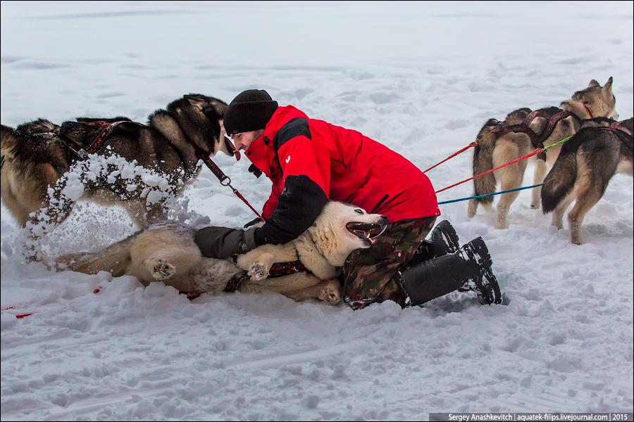 Тест-драйв собачьих упряжек