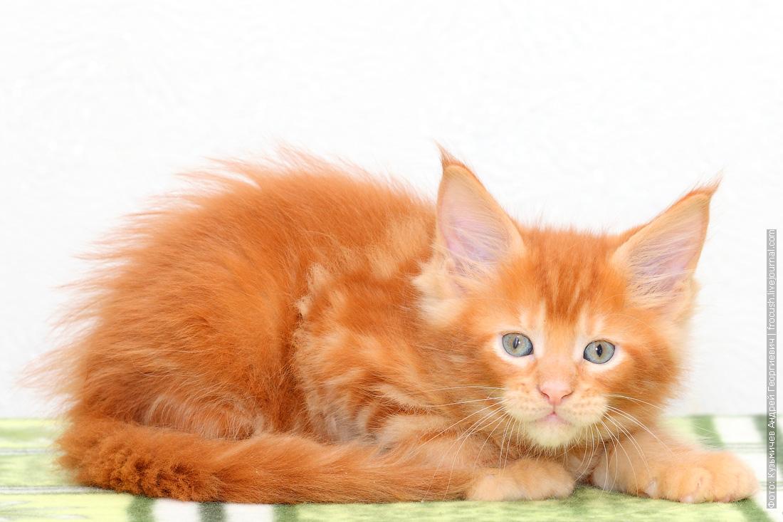 красный котенок Мейн-кун питомник