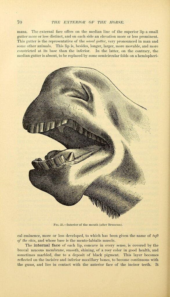 Fig. 25. Interior of the mouth. The exterior of the horse. 1904.jpg