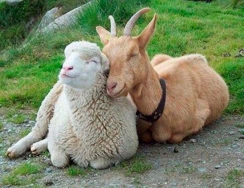 Влюбленная коза в 2015 году