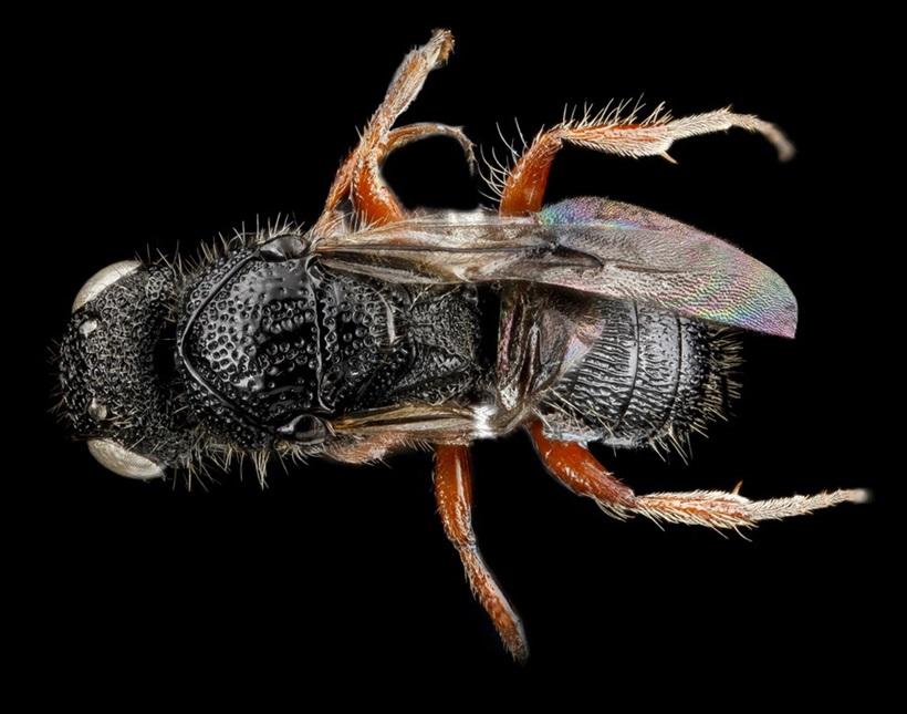 Макрофотографии разноцветных американских пчел 0 13d2af 469d2aba orig