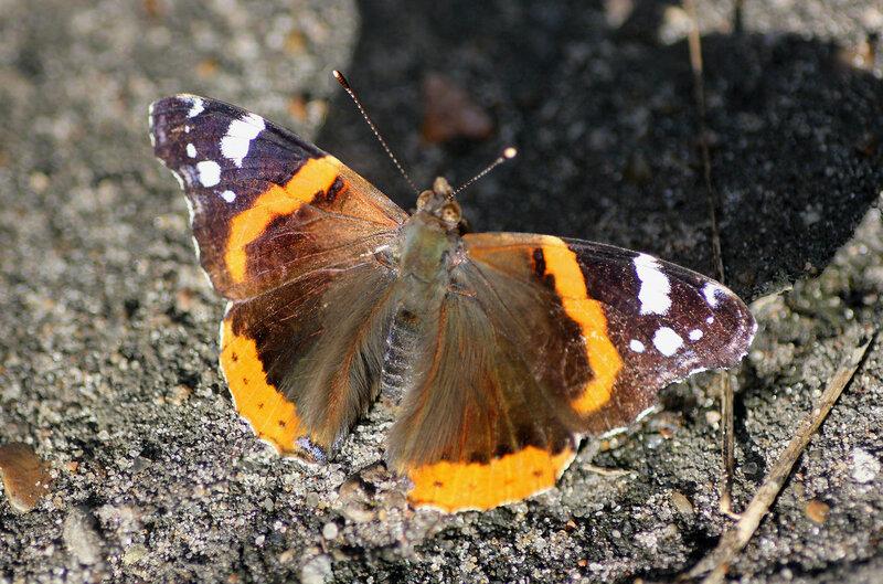 Бабочка Красный адмирал (Red admiral butterfly)