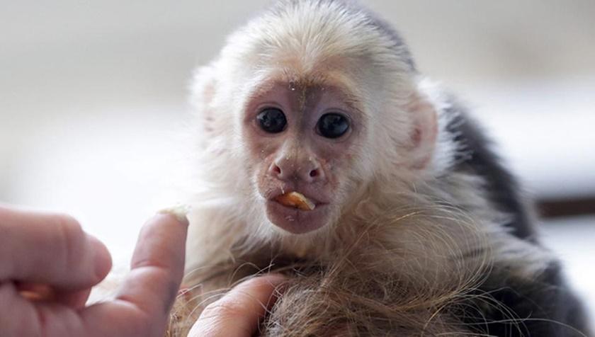 Джастин Бибер привез в Германию обезьянку и заплатил штраф