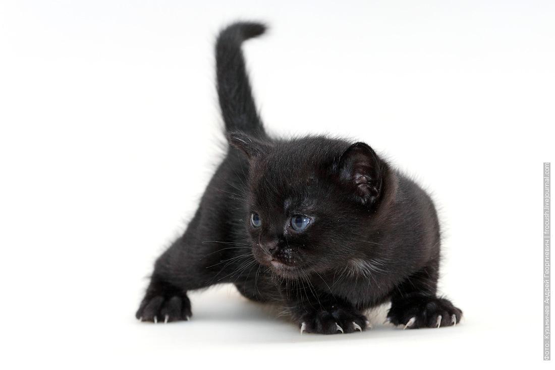 продажа в Москве котенок Бомбейской кошки