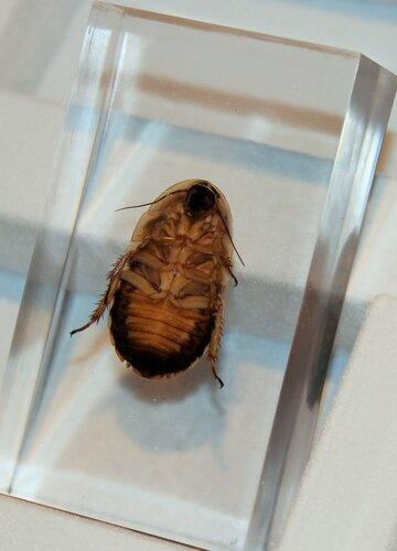Насекомые №62 - Аргентинский таракан (Blaptica dubia)