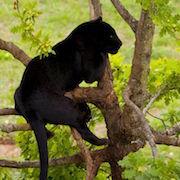 К чему снится пантера?