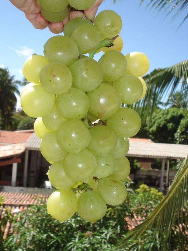 Виноград красивый, но невкусный