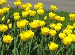 желтые тюльпаны-вестники разлуки.jpg