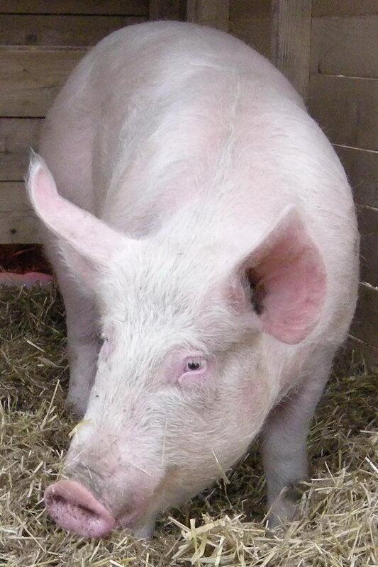 свинья диетолог в холодильник купить