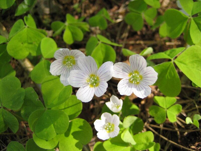 Цветок комнатный заячья капуста 131