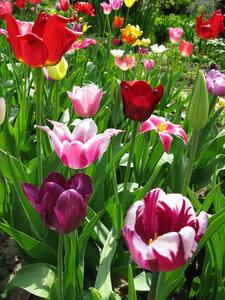 Тюльпановое счастье