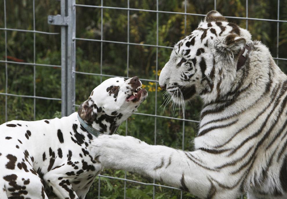 19. Собака вместе со своим щенком выкармливает тигренка.