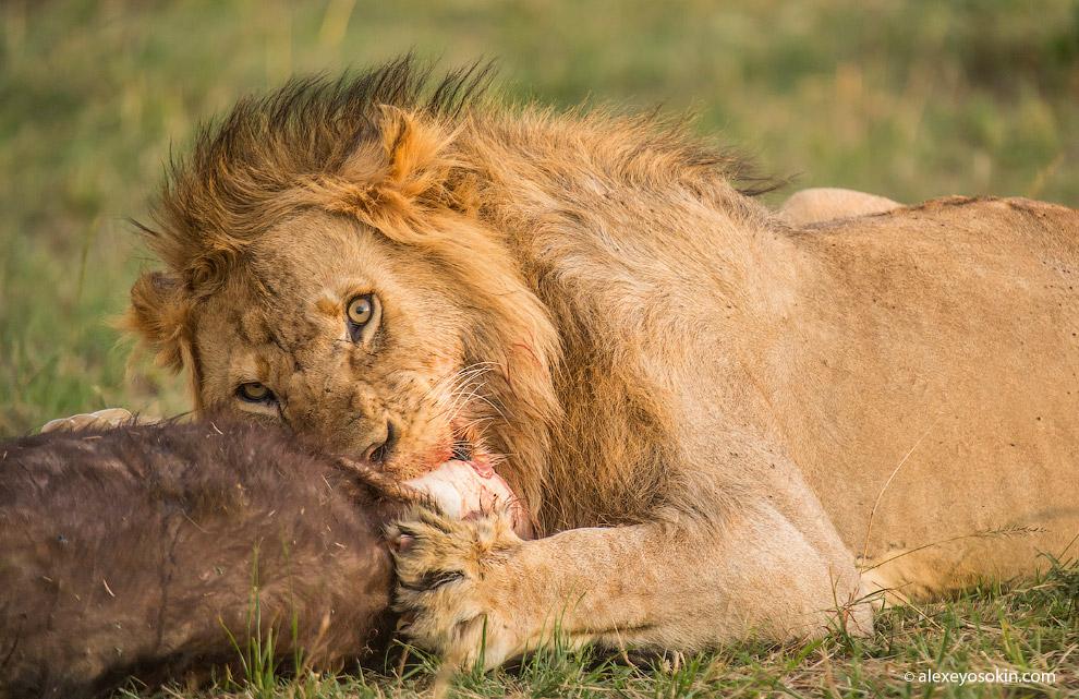 8. Львы часто охотятся ночью. Их зрение в темноте в 6-7 раз лучше человеческого, что очень спос