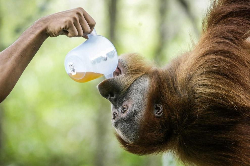 6. В Индонезии есть даже центры реабилитации для этих умных обезьян перед возвращением их обрат