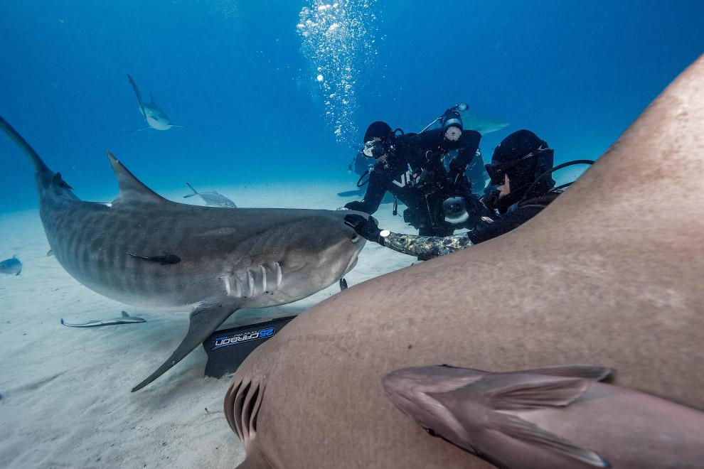 8. Акулам вряд ли нужно это общение. Им просто интересно. (Фото Steve Hinczynski):