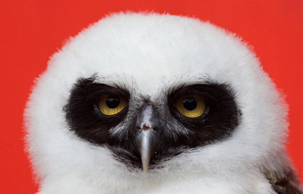 17. Нахохлился. Евроазиатский филин. Крупная хищная птица, размерами уступает беркуту, но немно