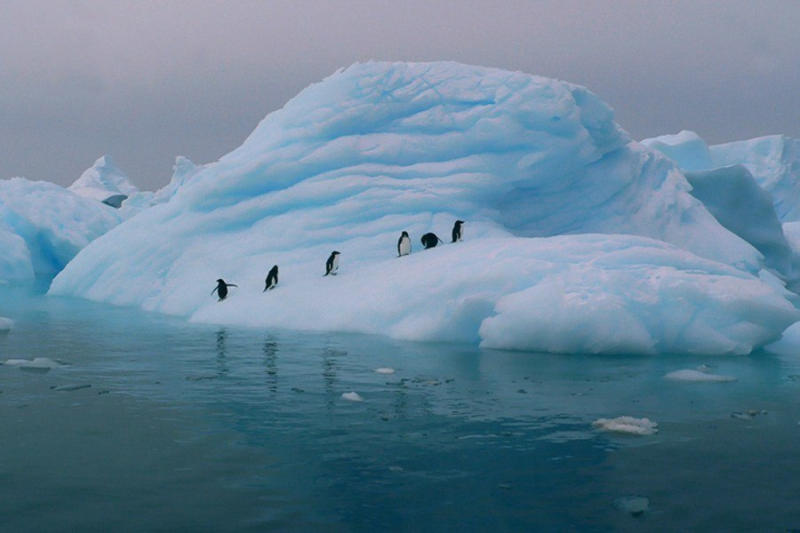 Adelie penguins' numbers have decreased significantly due to sea ice loss — a fate that scientists b