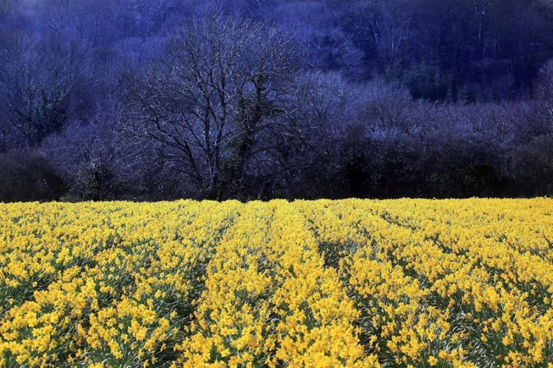 Daffodils that have been left to flower at Fentongollan Farm near Truro, England.