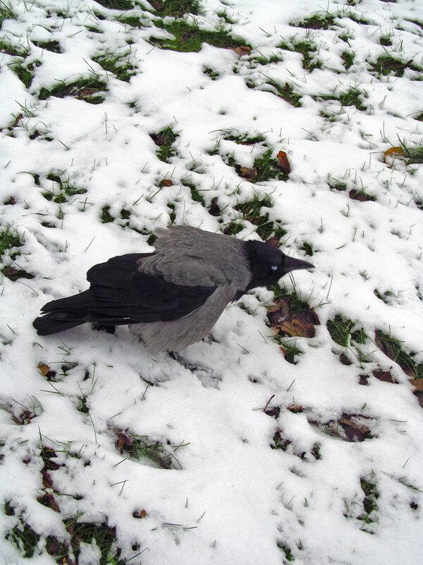 Обиженная ворона