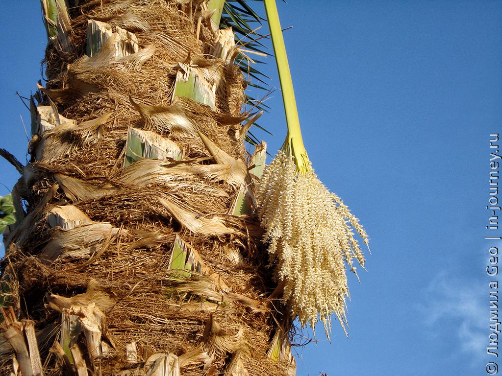 цветок пальмы фото