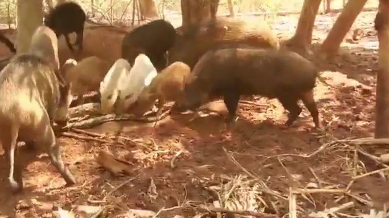 Свиньи растерзали питона, который съел их поросенка