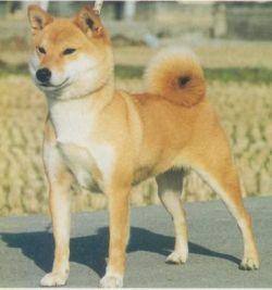 Azusaichihime Go Sanuki Mizumotosou (сука) - Лучшая Сиба 86-й ГН.jpg