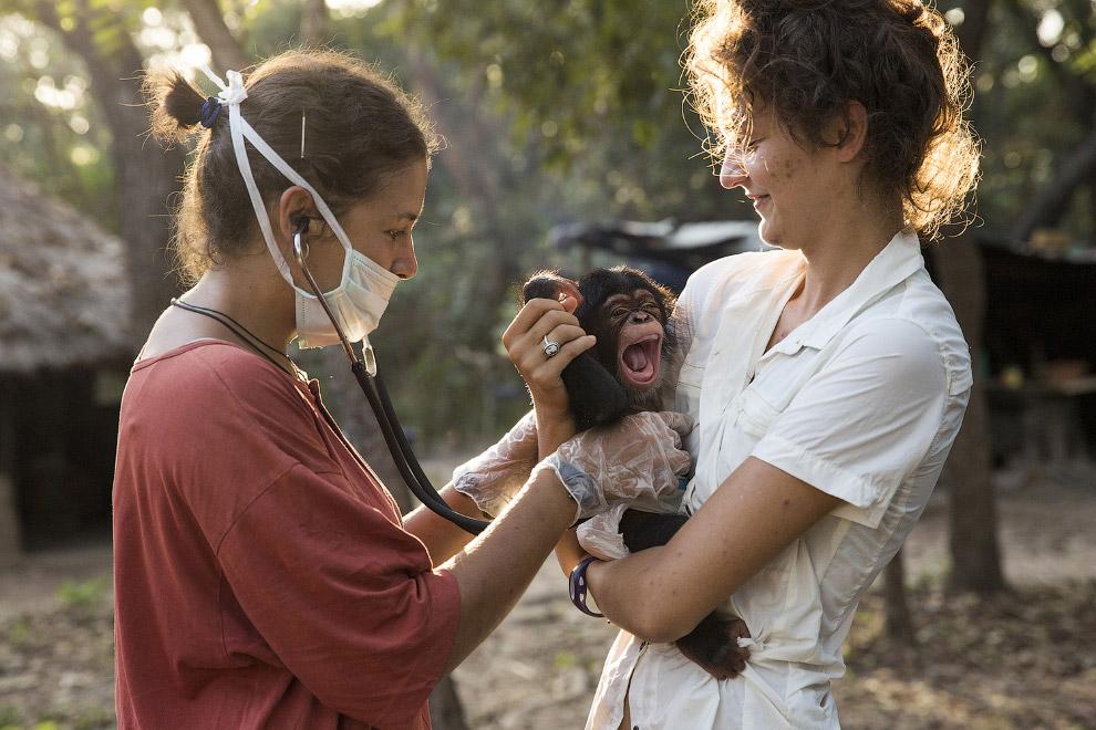 8. Вот из-за таких охотников и страдают шимпанзе. Незаконная охота на диких животных остается п