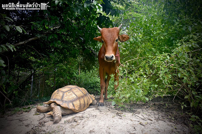 «Нам всем на удивление, между теленком Саймоном и черепахой Леонардо образовалась прочная связь», —