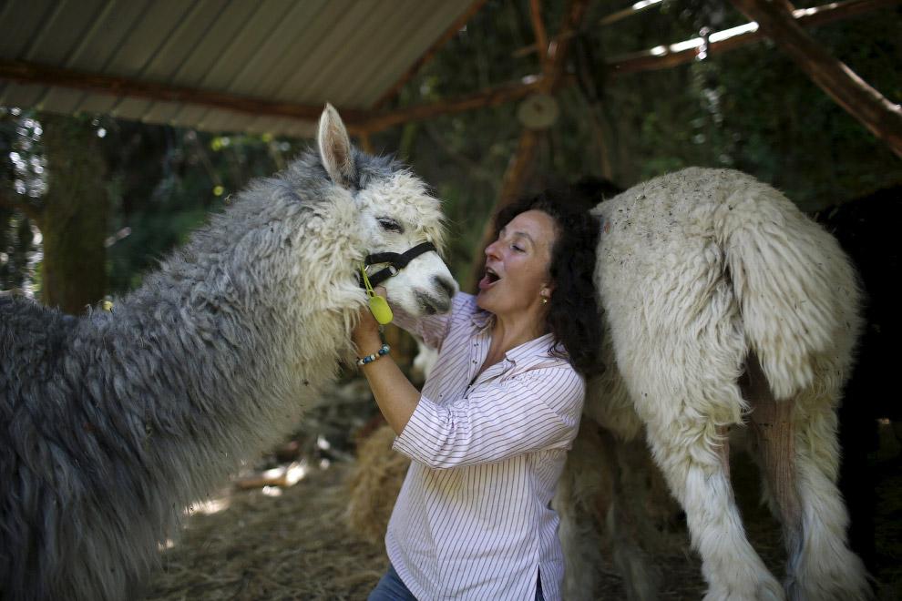 8. В природе существует два вида альпак, которые отличаются только по внешнему виду шерсти. Пор
