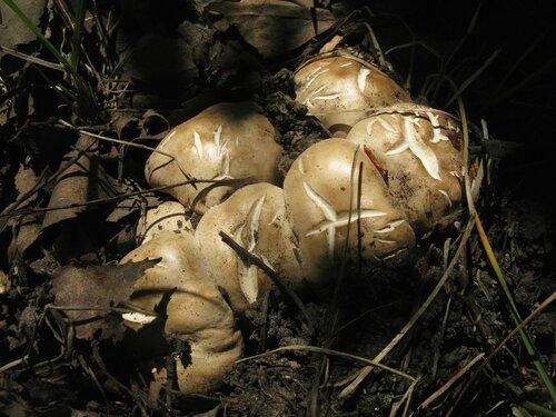 Майский гриб (Calocybe gambosa). Майские грибы, как ни странно, появились в стандартные сроки. В Питере их любимое время почти всегда приходится на конец мая – первую половину июня Автор фото: Станислав Кривошеев