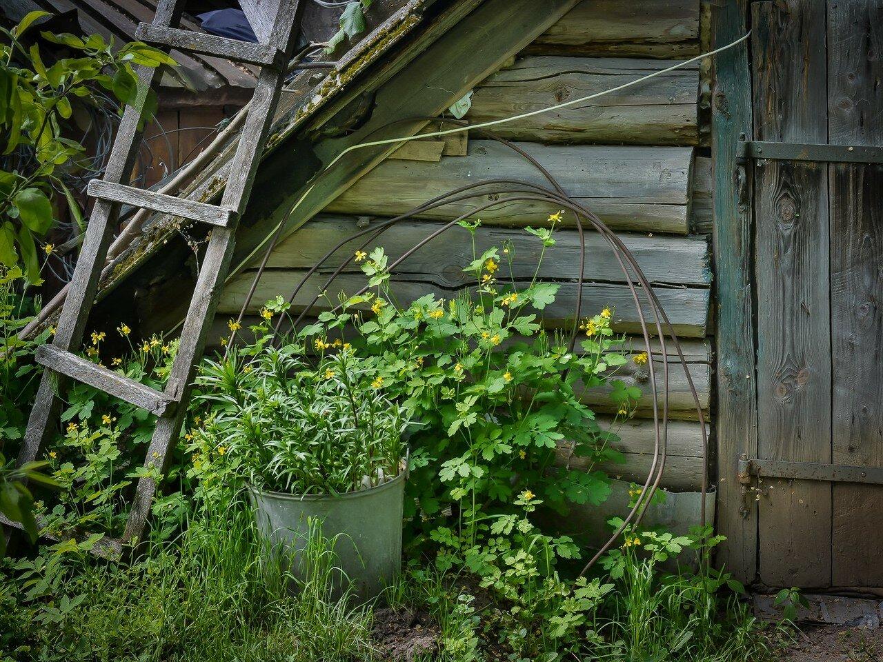 Чистотел большой (Chelidonium majus) Автор фото: Вячеслав Степанов