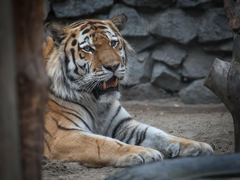 Тигрица Лапа