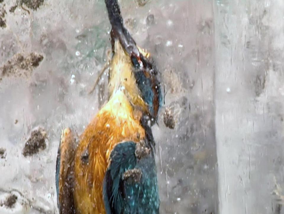 Два зимородка вмерзли в  лед