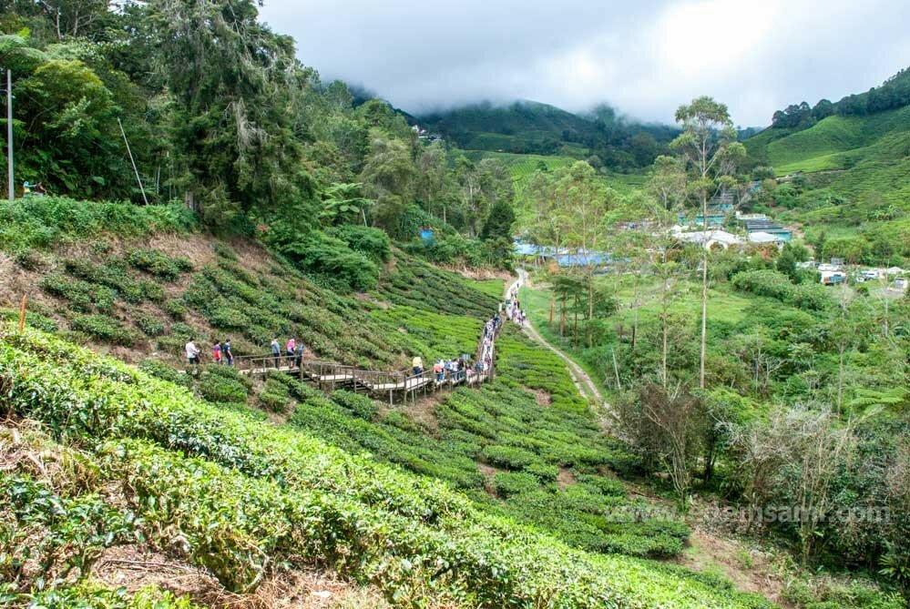 Чайные плантации в Малайзии